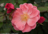 Oso Easy Pink Cupcake Rose Flowers Opening Up