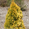 Filips Magic Moment Arborvitae Shrub