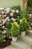 Filips Magic Moment Arborvitae in Garden Planters in the Entryway Porch