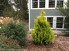 Yellow Fluffy Arborvitae Bush