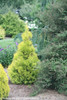 Fluffy Arborvitae in the Landscape