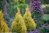 Row of Fluffy Arborvitae Shrubs