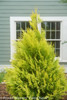 Fluffy Arborvitae Next to the House