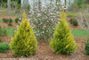2 Fluffy Arborvitae Shrubs