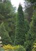 Tall Upright North Pole Arborvitae Shrub