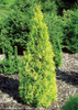Polar Gold Arborvitae in the Sun