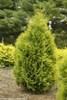 Polar Gold Arborvitae Bush