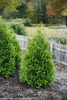 Row of Polar Gold Arborvitae Bushes Next To Fence