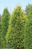 Large Polar Gold Arborvitae Hedge