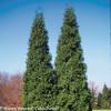 Tall Spring Grove Arborvitae Shrubs