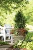 Spring Grove Arborvitae Shrub in Garden Planter