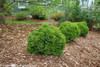Row of Short Tiny Tot Arborvitae Shrubs