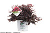Jazz Hands Dwarf Pink Loropetalum in Proven Winners Pot