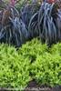 Good Vibrations Gold Juniper Shrubs Next to Ornamental Grasses