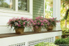Infinitini Brite Pink Crape Myrtle Bushes in Garden Planters on Porch