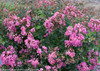 Infinitini Brite Pink Crape Myrtle Shrub Foliage