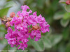 Infinitini Purple Crape Myrtle Flowers Close Up