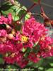 Infinitini Watermelon Crape Myrtle Shrub With Flower Buds