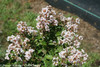 Infinitini White Crape Myrtle Branch Foliage and Flowers