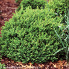 North Star Boxwood Shrub