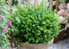 Sprinter Boxwood Foliage