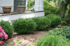 Sprinter Boxwood Hedge