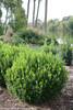 Sprinter Boxwood Under Trees