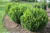 Sprinter Boxwood Landscaping