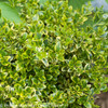 Wedding Ring Boxwood Foliage
