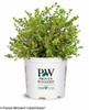 Wedding Ring Boxwood in Proven Winners Pot