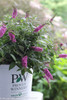 Lo and Behold Pink Micro Chip Butterfly Bush in Proven Winners Pot