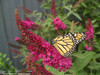 Miss Molly Butterfly Bush with Butterfly Pollinating