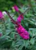 Pink Miss Molly Butterfly Bush Flower