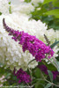 Miss Ruby Butterfly Bush Flower With Hydrangea Flower