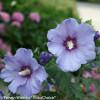 2 Azurri Blue Satin Rose of Sharon Flowers