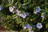 Azurri Blue Satin Rose of Sharon Shrub With Blooms