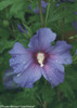 Azurri Blue Satin Rose of Sharon Flower With Water