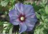 Azurri Blue Satin Rose of Sharon Flower in the Sunlight