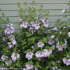 Azurri Blue Satin Rose of Sharon Bush Next To House