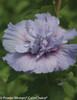 Blue Chiffon Rose of Sharon Flower Petals Up Close