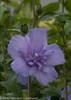 Blue Chiffon Rose of Sharon Flower on Stem