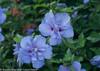 Blue Chiffon Rose of Sharon Flower Cluster