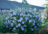 Blue Chiffon Rose of Sharon Shrub Covered in Flowers