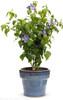 Blue Chiffon Rose of Sharon in Garden Planter