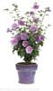 Lavender Chiffon Rose of Sharon in Garden Planter