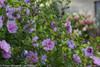 Lavender Chiffon Rose of Sharon Stems With Blooms