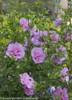 Lavender Chiffon Rose of Sharon Foliage