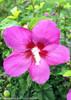 Lil Kim Violet Rose of Sharon Flower Close Up