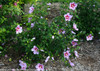Orchid Satin Rose of Sharon Shrub
