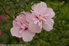 Pink Chiffon Rose of Sharon Flower Cluster